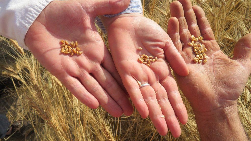 Varietats autòctones valencianes de blat